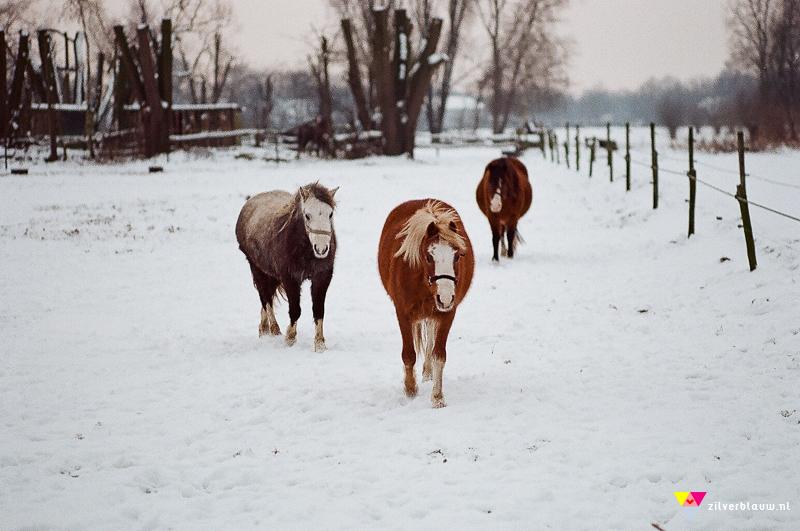 paarden in de sneeuw 2