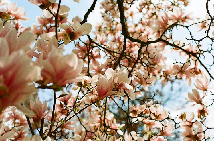 Magnolia met de Nikon FE