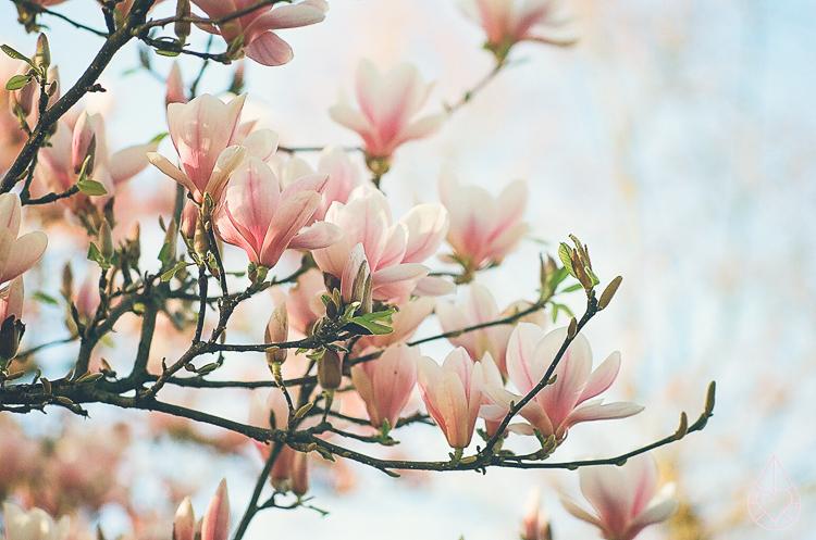 magnolia analoog