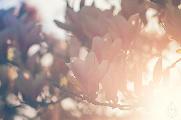 magnolia on nikon FE