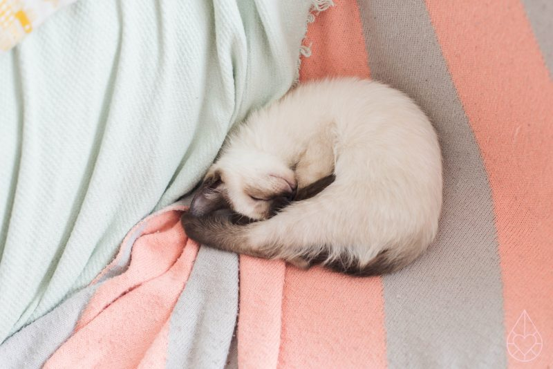 Pjoes, siamese ragdoll kitten