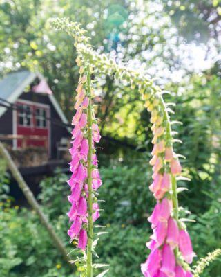 @intratuin_nederland vroeg of @casperboot en ik wilden komen shoppen met als doel de biodiversiteit in onze tuin te vergroten. Leuk! We waren vooral benieuwd naar het assortiment inheemse en biologische planten, omdat we daar in onze tuin het liefst voor kiezen. We waren blij verrast met het aanbod en kozen onder andere planten uit de inheemse lijn die Intratuin heeft ontwikkeld in samenwerking met IVN & @cruydthoeck. Voor in onze voortuin koos ik biologisch kattenkruid (Nepeta), biologische kleine pimpernel en heel veel vingerhoedskruid (Digitalis). De potten voor onze voordeur vulden we met eetbare, biologische planten zoals Oost-Indische kers en Korenbloem. Ons groene paradijs wordt steeds groener! (In de carrousel zie je ook 3 voor-foto's, ongelooflijk hoeveel er in zo'n relatief korte periode veranderd is, vooral de voortuin lijkt wel een groene explosie. 😂 In stories meer hierover!) #levedewildernis #gekregen #intratuin
